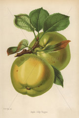Jolly Beggar apple variety  Malus domestica