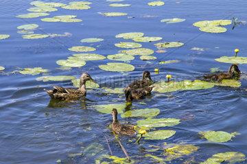 schwimmende Wildenten im Fluss