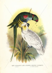 Rose-ringed parakeet and sulphur-crested cockatoo