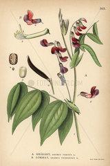 Spring vetchling or spring pea  Orobus vernus  and bitter vetch or heath pea  Orobus tuberosus