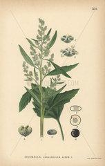 Lamb's quarters  Chenopodium album