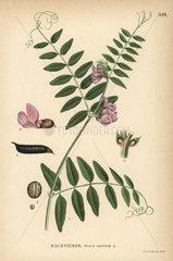 Bush vetch  Vicia sepium