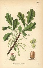English oak  Quercus robur