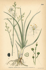 Branched St. Bernard's lily  Anthericum ramosum