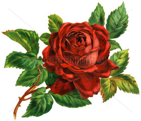 Rose  Poesiebild  1893