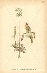 Northern coralroot orchid  Corallorhiza trifida