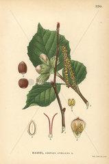 Common hazel tree  Corylus avellana