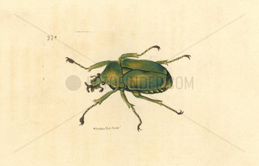 Flower chafer (scarab beetle)  Dicronorrhina micans