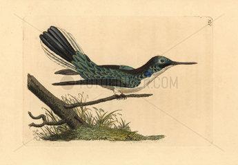 Black-eared fairy hummingbird  Heliothryx aurita