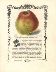 Mannington's Pearmain apple  Malus domestica