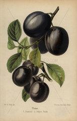 Plum cultivars: Diamond and Belgian Purple  Prunus domestica