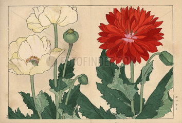 Poppy varieties  Papaver rhoeas