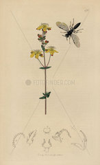 Diodontus gracilis  Passaloecus gracilis wasp