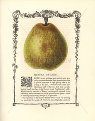 Easter Beurre pear  Pyrus communis