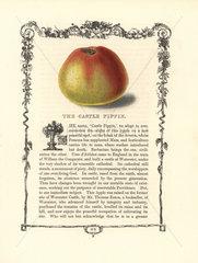 Castle Pippin apple  Malus domestica
