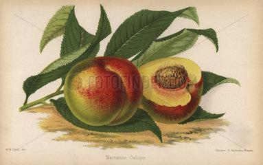 Galopin nectarine  Prunus persica cultivar