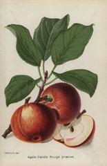Apple cultivar  Calville Rouge praecox  Malus domestica