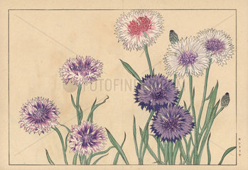 Cornflower or bluebottle  Centaurea cyanus