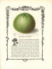 Easter Pippin apple  Malus domestica