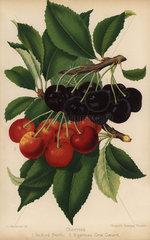 Cherry varieties: Bedford Prolific and Bigarreau Gros Coeuret  Prunus species