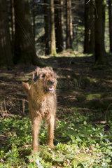 irischer Terrier im Wald