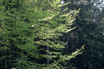 Rotbuche im Wald und im Fruehling