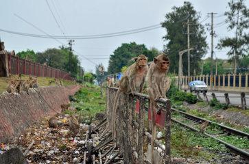 makaken affen in lopburi thailand