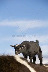 Zicklein auf Pferderuecken  blauer Himmel und wolken im hintergrund
