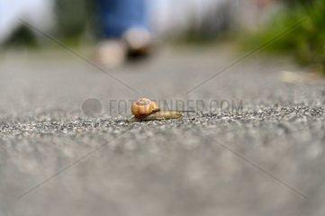Eine Weinbergschnecke ueberquert einen Fussweg