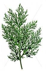 Sadebaum Juniperus sabina Serie Heilkraeuter Giftpflanze