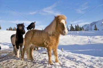 Zicklein auf Pferderuecken  Schneefeld  blauer Himmel und wolken im hintergrund