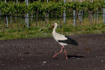 Storch marschiert ueber einen Acker zu Weinreben