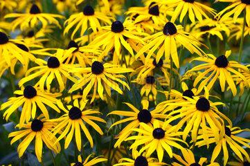Gewoehnlicher Sonnenhut oder Leuchtender Sonnenhut  Rudbeckia fulgida