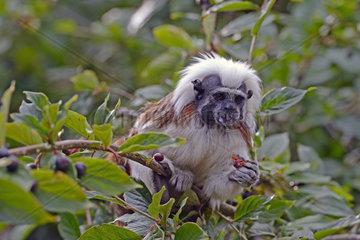 Lisztaffe  Krallenaffe  Saguinus oedipus  Alttier im Baum  Suedamerika