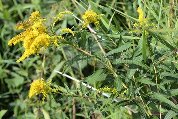 Kanadische Goldrute Solidago canadensis im Naturschutzgebiet Kirchwerder Wiesen in Hamburg  Deutschland