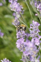 Wildbiene auf Lavendelbluete