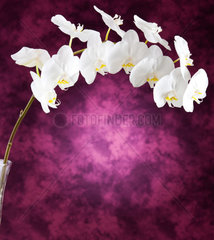 White orchid flowers on purple background