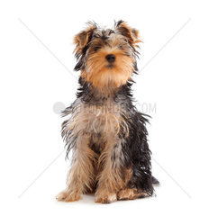 Yorkshire Terrier looking at camera on white background