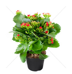 Kalanchoe flowering plant in pot on a white background