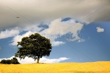 Yellow Field with Cloudy Sky