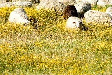 Schafherde mit schwarzem Schaf