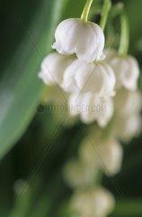 Schneegloecken (Galanthus nivalis)