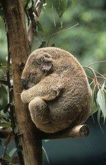 Koala sitzt auf Baum