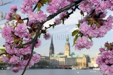 Blossoming Japanese Cherry  in Background Townhall and Church St. Nikolai  Hamburg  Germany