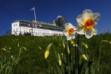 Narcissi in Front of Hotel Hafen in Spring  Hamburg  Germany