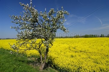 Apple Blossom in Spring and Canola Field in Vier- and Marschlande  Hamburg  Germany