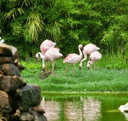 Beautiful pink flamingos in the nature
