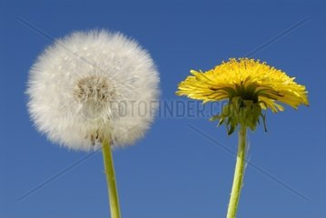 Dandelion and Blowball