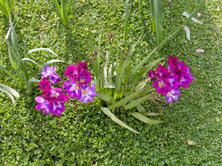 Beautiful purple freesia in the garden