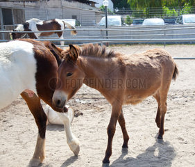 Young horsy walks near at a horse-mother